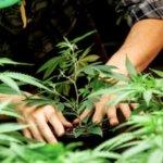 Akiko's products Cannabis